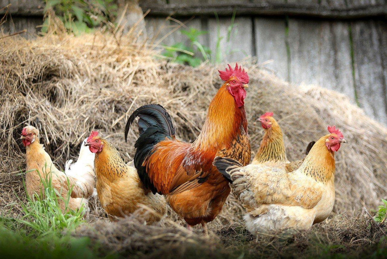 Aprire un allevamento di polli