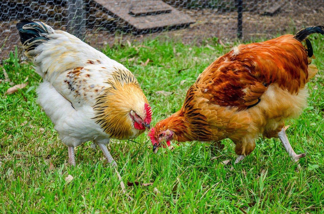 Aprire un allevamento di galline ovaiole